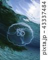 水面にてクラゲ 43337484