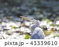 アオサギ 鳥 水鳥の写真 43339610