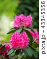 つつじ ツツジ 花の写真 43345356