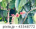 コーヒーの木/Coffee Tree_5 43348772