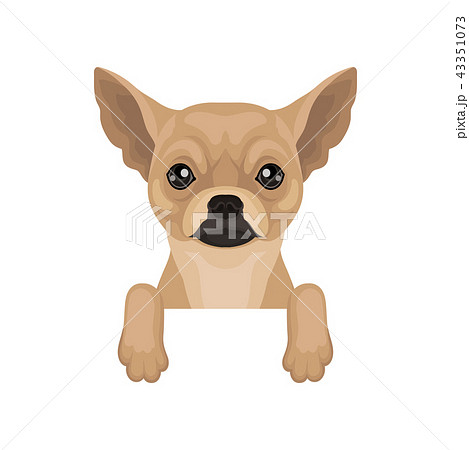 Chihuahua puppy hanging on invisible border. Home pet. Flat vector for promo poster of pet clinic or 43351073
