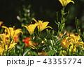 百合 花 植物の写真 43355774