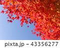 紅葉 秋 カエデの写真 43356277