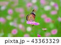 ヒョウモンチョウと秋桜 43363329