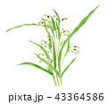 ハトムギ 植物 白バックのイラスト 43364586