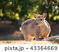 鹿 ニホンジカ 動物の写真 43364669