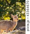 鹿 ニホンジカ 動物の写真 43364670