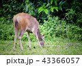 Deer eating the grass in the khaoyai national park 43366057