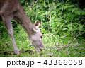 Deer eating the grass in the khaoyai national park 43366058