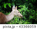 Deer eating the grass in the khaoyai national park 43366059