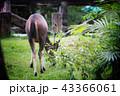 Deer eating the grass in the khaoyai national park 43366061