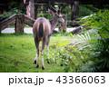 Deer eating the grass in the khaoyai national park 43366063