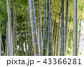 竹 竹林 竹藪の写真 43366281
