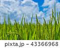 稲 田んぼ 夏の写真 43366968