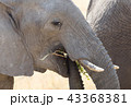 ぞう ゾウ 象の写真 43368381