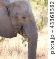 ぞう ゾウ 象の写真 43368382