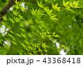 カエデ モミジ 新緑の写真 43368418