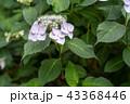 アジサイ 花 ガクアジサイの写真 43368446