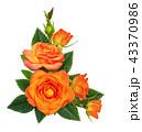 オレンジ オレンジ色 橙の写真 43370986