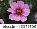 花 コスモス 秋桜の写真 43372506
