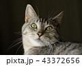 猫 アップ 顔の写真 43372656