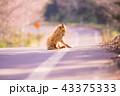 キタキツネ 知床 狐の写真 43375333