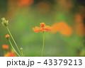 キバナコスモス コスモス 花の写真 43379213