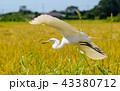 飛ぶ白鷺 43380712