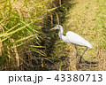 餌を探す白鷺 43380713