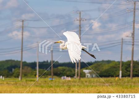 飛ぶ白鷺 43380715