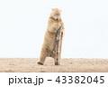 ホッキョクグマ 43382045