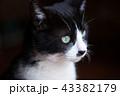ハチワレ猫 43382179