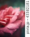 ピンクの薔薇に雫 43382181