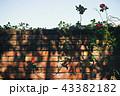 煉瓦の壁に赤い蔓薔薇 43382182