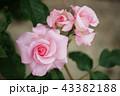 落ちついたピンクの薔薇 43382188