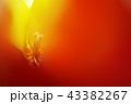 光の中、チューリップの蕊 43382267