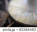 Defocused small white mushroom plates macro photo in the natural forest 43384462