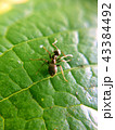 Ant sitting on the zoomed green leaf with blurred edges 43384492