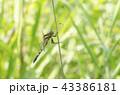 蜻蛉 トンボ目 トンボ科の写真 43386181