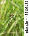 蜻蛉 トンボ目 トンボ科の写真 43386182