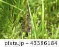 蜻蛉 トンボ目 トンボ科の写真 43386184