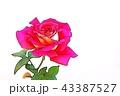 バラの花 43387527