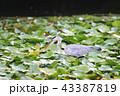 アオサギ 鳥 サギの写真 43387819