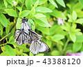 アカボシゴマダラ 43388120