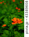 花 コスモス キバナコスモスの写真 43389608