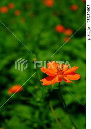 キバナコスモスの花 43389608