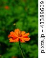 花 コスモス キバナコスモスの写真 43389609