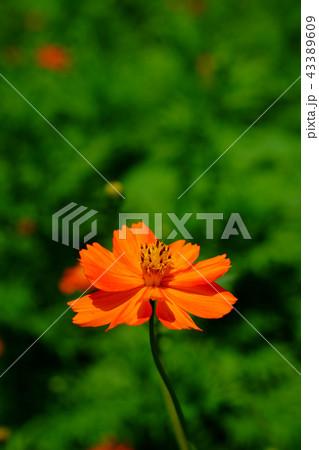 キバナコスモスの花 43389609