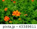 花 コスモス キバナコスモスの写真 43389611