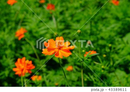 キバナコスモスの花 43389611